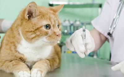 Как сделать прививку кошке
