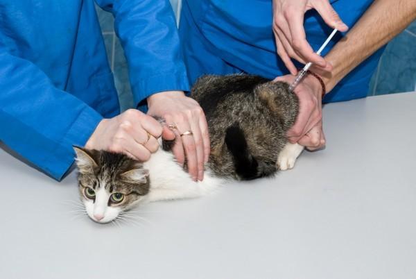 Прививка кошке как сделать