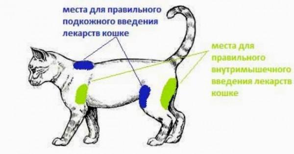 Места для прививки кошки