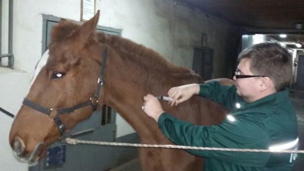 Прививка лошади